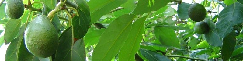масло авокадо оказывает омолаживающее воздействие