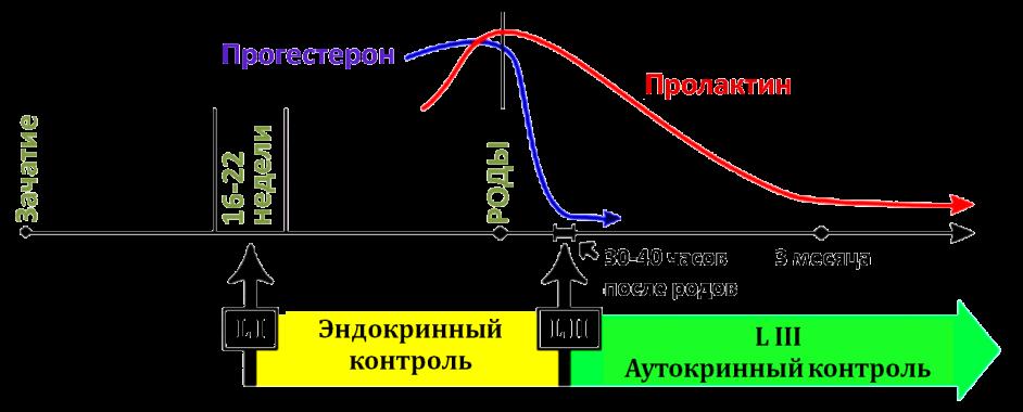 Схема процесса лактации