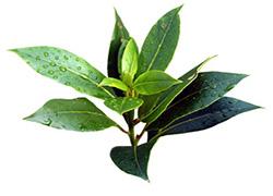 Масло чайного дерева обладает сильным антисептическим, антигрибковым, бактерицидным свойствами