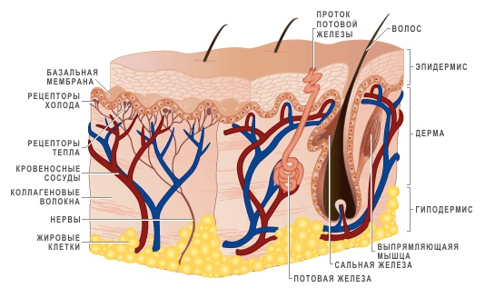 Крем эффективен и в глубоких слоях кожи