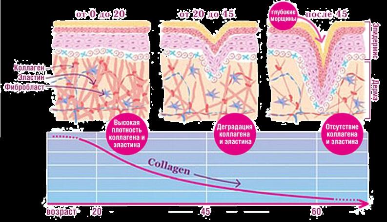 Коллаген и эластин