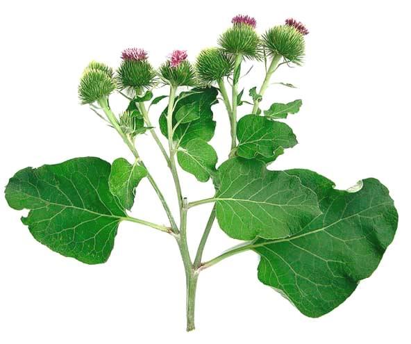 Репейник - двулетнее травянистое растение семейства астровых