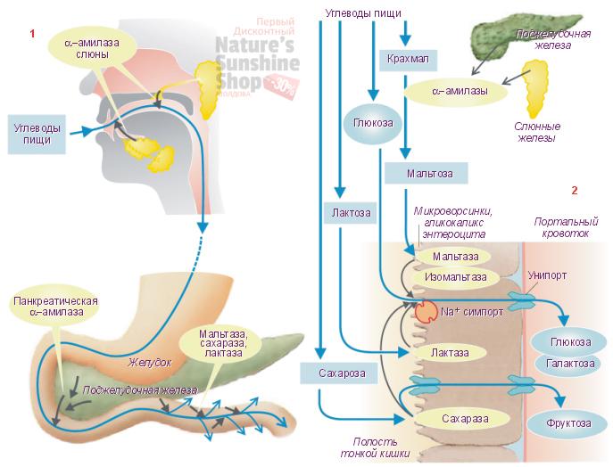 Расщепление углеводов ферментом липаза