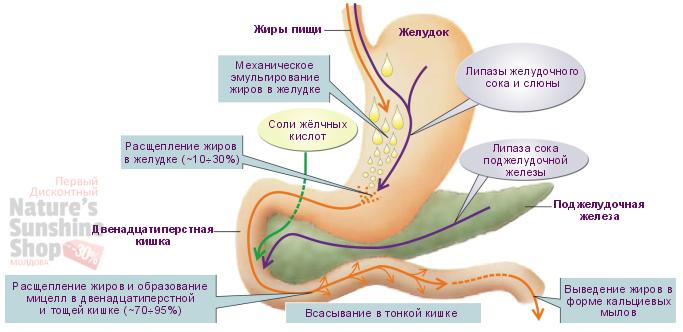 Расщепление жиров пищеварительным ферментом амилаза