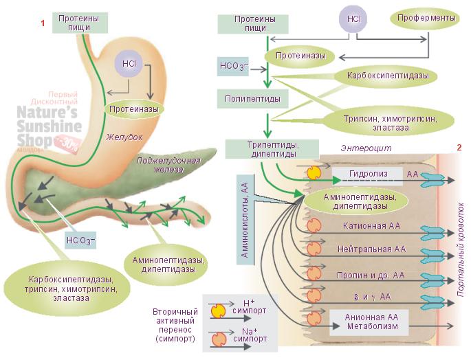 Фермент протеаза расщепляет белки
