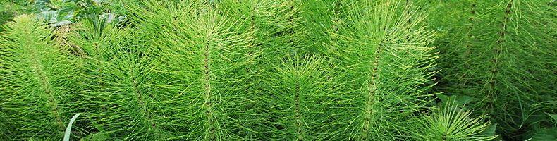 Хвощ полевой незаменимая трава при заболеваниях почек