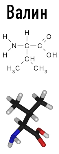 Белки формируются из аминокислот Валин