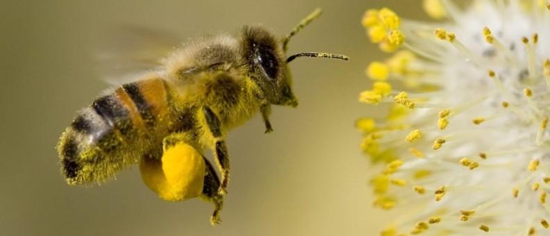 Как собирается пчелиная пыльца?