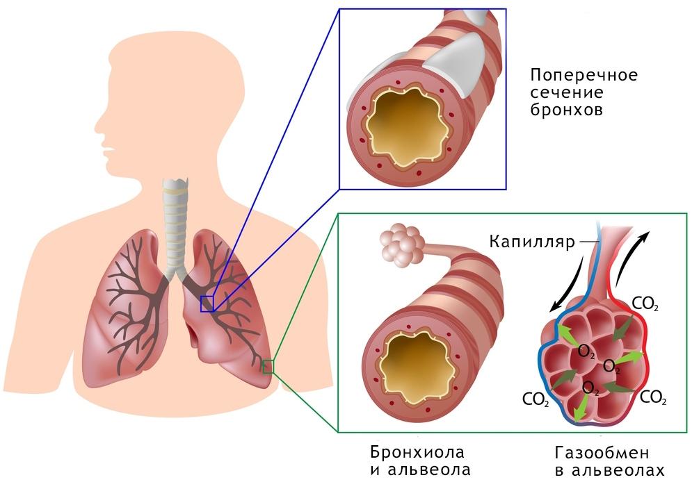 Строение легких NSP Молдова