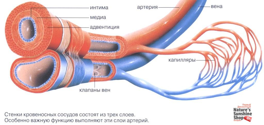 Строение вен и артерий человека